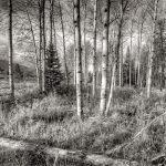 Teton Aspens. Black and white conversion from color digital file.